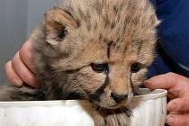 Mláďata gepardů včera podstoupila prohlídku.