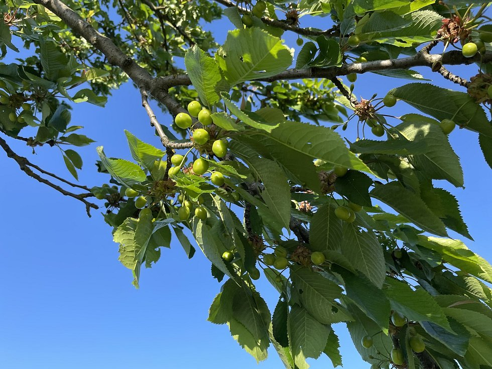 Třešňová alej u Bohuňovic, plody jsou zelené, 3. června 2021