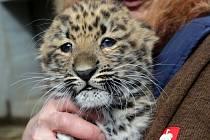 Mládě levharta mandžuského v olomoucké zoo dostalo jméno Doubravka