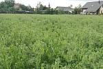 Ve Střeni nechali vyset zelený hrášek, aby pozemek určený k výstavbě letos zbytečně neležel ladem. Zájemci si mohou přijít natrhat lusky. Zadarmo.