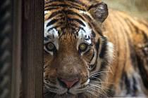 Mladý samec tygra ussurijského doputoval na Svatý Kopeček ze Zoo Lešná