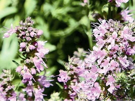 Kvetoucí yzop