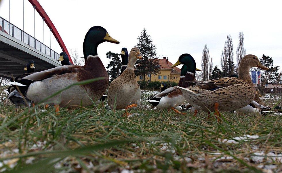 Kachny u mostu u kojeneckého ústavu v Olomouci