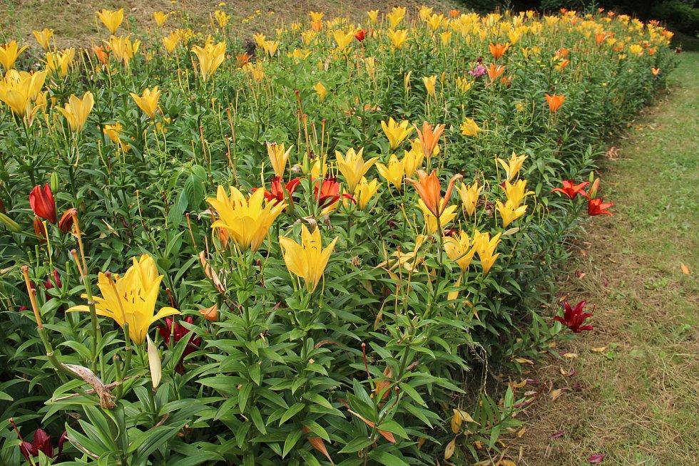 V parku pod katedrálou svatého Václava v těchto dnech do dálky září záhon barevných lilií.
