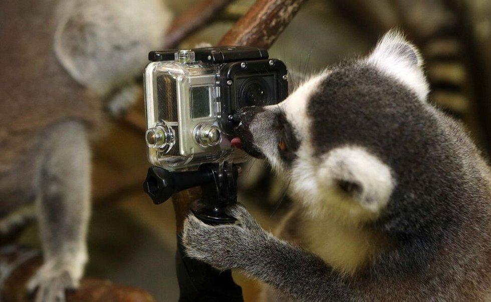 Natáčení lemurů olomoucké zoo