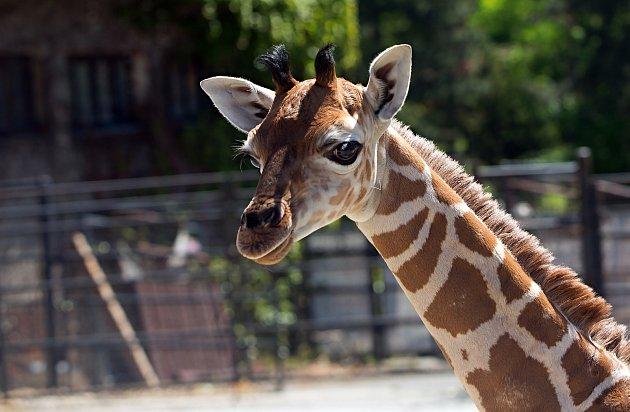 Žirafátko Sarifa narozené 26.dubna 2020volomoucké zoo