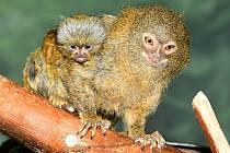 Kosmaní rodinka v Zoologické zahradě na Svatém Kopečku u Olomouce se rozšířila o nové přírůstky. Samička porodila dvojčata.