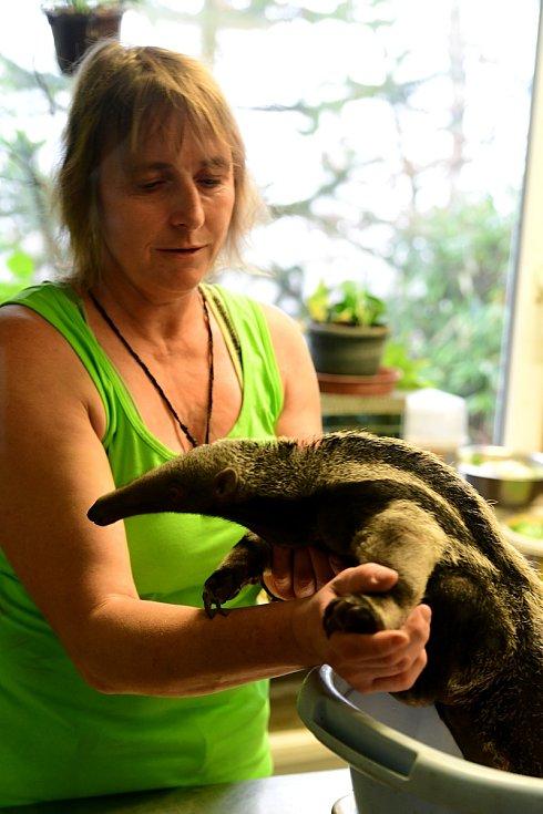 Mládě mravenečníka velkého, které se narodilo v olomoucké zoo 7. prosince 2019