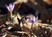 Šafrán (Crocus sp.), roztroušeně po celé bot. zahradě. Je známo asi 80 druhů šafránu a mnohonásobně více jejich kultivarů. Plodem šafránu je tobolka jež se vyvíjí v podzemí, ale při dozrávání se stopka prodlužuje a tak se plod dostává nad zem. Nejznámější