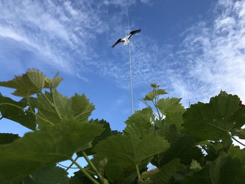 V boji se špačky pomáhá papírová maketa dravce zavěšená na desetimetrové tyči. Zatím funguje. 26. srpna 2020