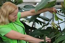 Sbírkové skleníky se v úterý otvírají pro veřejnost. Zahradnice sbírkových skleníků Jana Pajerová ukazuje květ filodendronu.