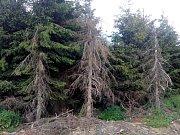 Apokalypsa. Jinak nelze popsat stav smrkových porostů kolem pramene Odry. Vyhledávaná turistická trasa připomíná bojiště, kde člověk v boji s dřevokaznými škůdci a počasím prohrává na celé čáře.Na snímku umírající smrky...
