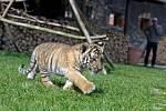 Diego, mládě tygra ussurijského ve Faunaparku v Lipové-lázních