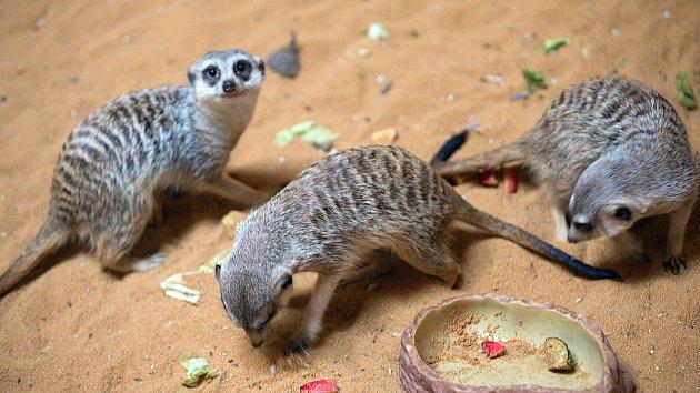 Surikaty - video z Exoty Olomouc a jejich umístění v zoo