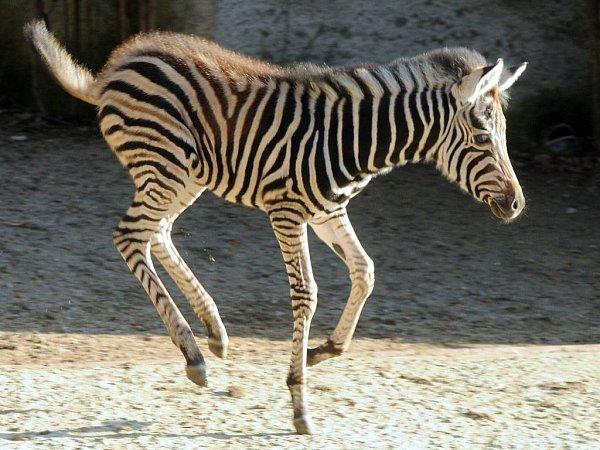 Mládě zebry chapmanovy volomoucké zoo