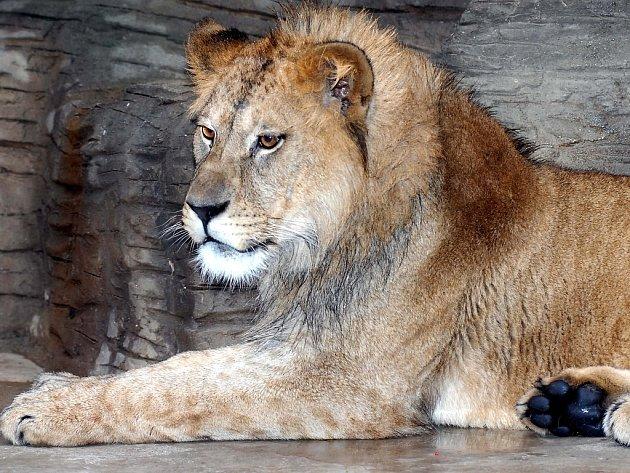 Samec lva berberského.