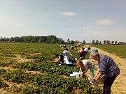 Ve středu 23. května 2018 na Olomoucku odstartovalo jahodové šílenství. Ve Slavoníně vzaly vyčleněné řádky útokem desítky milovníků tohoto ovoce. V příštím týdnu začne samosběr jahod ve Skrbeni.