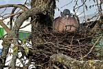 Jaro je tady, aspoň podle kalendáře, a holub hřivnáč se rozhodl vysedět potomky na jednom z nejrušnějších parkovišť v Olomouci, 14. dubna 2021.