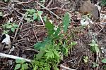 Při obnově lesa dávají lesníci prostor přírodě - přirozené obnově. Na snímku semenáček dubu už připomíná malého listnáče.