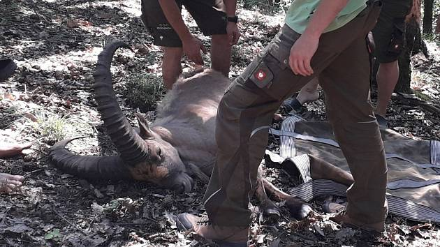 Kozorožce, kteří utekli z olomoucké zoo při březnové vichřici, se podařilo pochytat.