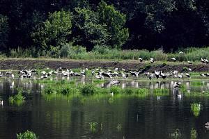 Ornitologové v těchto dnech zaznamenali stovky čápů bílých, jak se zastavují na cestě do Afriky na polích s přemnoženými hraboši. Na Hané mají hody. Na snímku lokalita u Vrbátek.