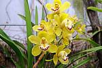 Květy a úroda citrusů v palmovém skleníku v Olomouci. 6. února 2020.  Orchidej Cymbidium člunatec