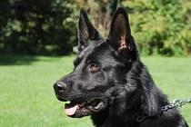 Policejní pes Umpa vypátral v sobotu před půlnocí opilou řidičku ve křoví.