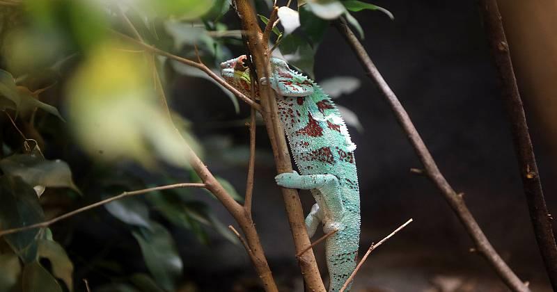 Nová terária v olomoucké zoo v nevyužité části interiéru pavilonu žiraf - chameleon pardálí