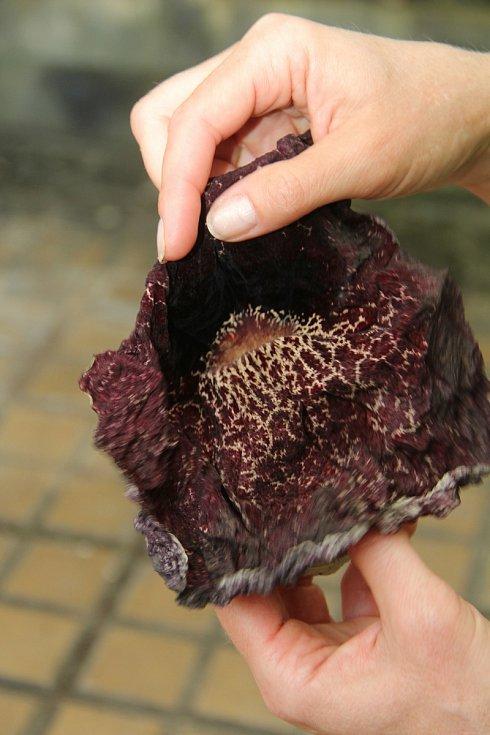 Květy Podražce obrovského jsou až 30 centimetrů velké