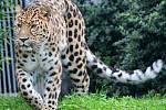 Cora, roční samice levharta mandžuského v olomoucké zoo.
