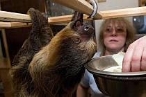 Mladý lenochod Bohoušek bydlí v obyváku u Dostálů