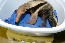 V olomoucké zoo na Svatém Kopečku se narodila samička mravenenčíka velkého. V České republice byla u tohoto druhu zatím odchována pouze čtyři mláďata.