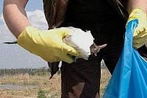 Sbírání uhynulých racků na Chomoutovském jezeře