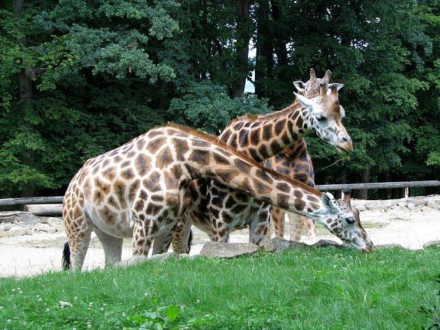 Zoo Zlín-Lešná: výběh žiraf