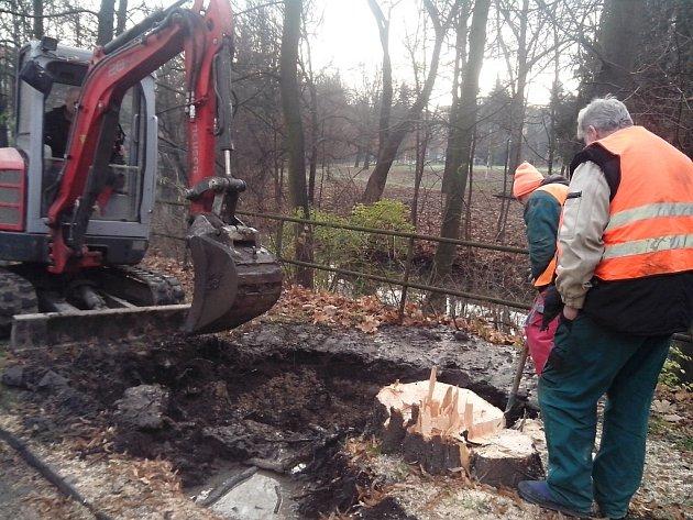 Vzrostlý strom musel být pokácen v Dobrovského ulici v Olomouci ve středu ráno. Pod jeho kořeny totiž došlo k poruše vodovodního potrubí.