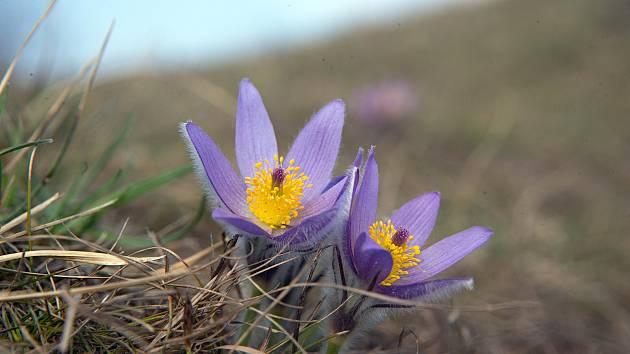 Rozkvétající Koniklec velkokvětý (Pulsatilla grandis).