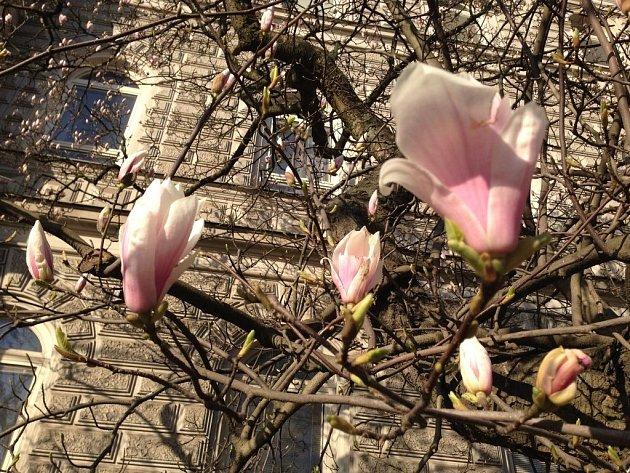 Květy magnólií u justičního paláce v Olomouci