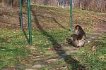 Tatin, uprchlý makak z olomoucké zoo, na sídlišti v Mariánském Údolí. Foto čtenářů z 25.11.2010