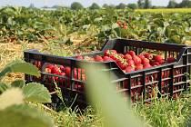 Samosběr jahod. Ilustrační foto