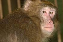 """Opičí uprchlík makak Šimpy na """"samotce"""" v olomoucké zoo"""