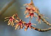 Vílín japonský ´Sulphurea´ (Hamamelis japonica), Zahrada pro nevidomé. Vilín japonský je původem z Japonska a Číny kde roste v horských lesích. Lidé ho pěstují v kultuře přibližně od druhé poloviny 19. století. V domovině roste jako strom s výškou až 10 m