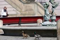 Párek kachny divoké se vydal na procházku na Horním náměstí v Olomouci