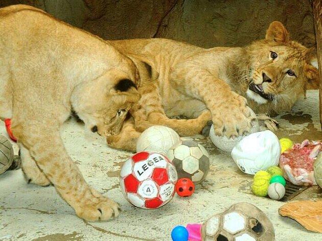 Mláďata lvů berberských v olomoucké zoo oslavila první narozeniny