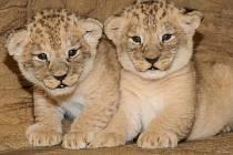 V olomoucké zoo na Svatém Kopečku se narodila mláďata lva berberského