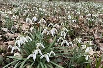 Koberce sněženek pokrývají lužní lesy Litovelského Pomoraví, 29. března 2021