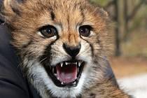 Gepardní mládě. Ilustrační foto.