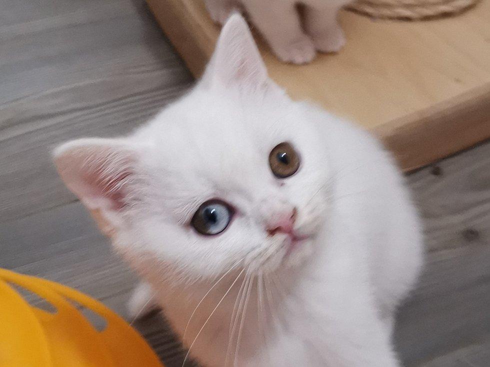 Britské krátkosrsté kočky z chovatelské stanice Lucie Pánkové.