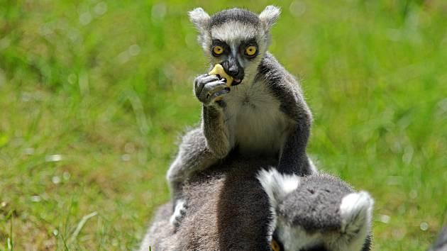Mláďata u lemurů kata v olomoucké zoo.