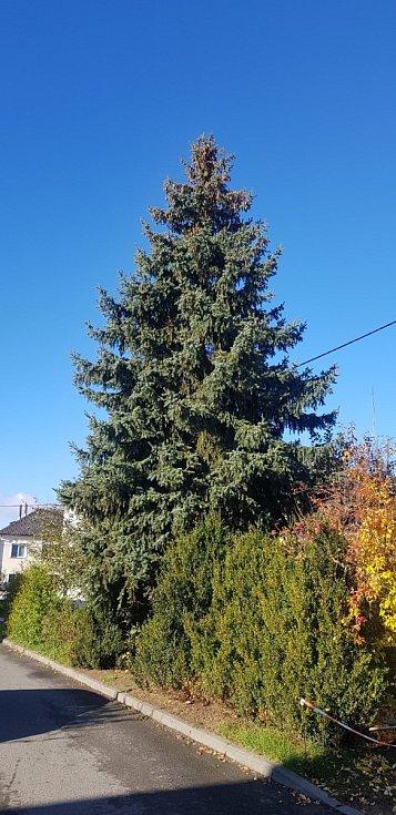 Strom pro vánoční Olomouc 2020: dvanáctimetrový stříbrný smrk vyrostl v Postřelmově.