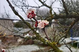 Meruňky v ohrožení. V Olomouci je v úterý odpoledne pokryl sněhový poprašek. Poškodit kvetoucí ovocné dřeviny může ranní mráz, před kterým vydal varování ČHMÚ.